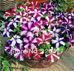 graines de sakura Promotion Playmates graines de pétunia, graines de pétunia vivaces, fleurs plus - 100pcs / bag