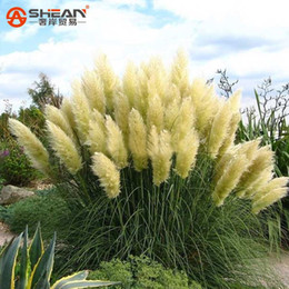 Wholesale Ornamental Flower Pots - Common Yellow Pampas Grass Seeds Flower Garden Potted Ornamental Plant Cortaderia Grass Seed New 500 Pieces   Lot