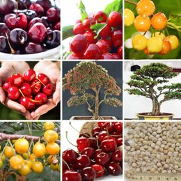 Wholesale Planting Cherry Seeds - 4 Categories Cherry Seeds Balcony Garden Fruit Bonsai Potted Plant Seeds Green Bonsai Cherry Fruits Seeds a Pack 10 PCS
