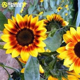 semi di elioanthus Sconti 50 semi / sacchetto Semi di girasole Sunlight rare Semi di Helianthus Annuus organici Giardinaggio Fiore ornamentale Semi di piante