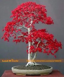 Wholesale Indoor Outdoor Plants - 100% Real American Blood Red Maple Tree Seeds, 10 Seeds Pack, Bonsai SOW ALL YEAR Indoor Or Outdoor Planting