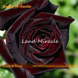 Wholesale Rose Garden Colors - 100 Seeds pack, Rare Rose Seeds Rare Blood Black Rose Flower Seeds Garden Plant, Other Colors Land Miracle