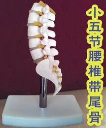 Wholesale Medical Science Model - wholesale Human Skeleton Model Lumbar Disc Disease Spine Model Fifth section lumbar spine Model Medical Science Teaching mannequins C010