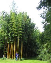 2019 piante di bambù da giardino Semi di bambù Phyllostachys Nigra 2015 semi decorazione del giardino pianta B49 piante di bambù da giardino economici