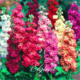 Wholesale Grow Pot Seeds - Matthiola incana Mixed Color Stock Flower 200 Seeds Great Cut Flower Variety Fragrant Easy-growing Bonsai Pot Flower