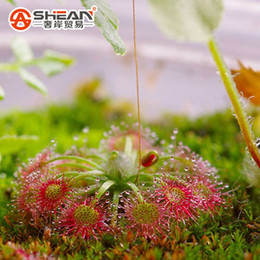 Wholesale Carnivorous Seeds - Mondsee Sundew Seeds Potted Plant Sundew Carnivorous Plants Garden Seeds 100 Pieces   lot