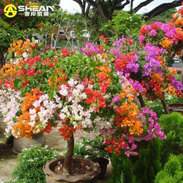 Wholesale Perennial Flower Plants - Top Selling Colorful Bougainvillea Spectabilis Willd Seeds Bonsai Plant Flower Seeds Perennial Bougainvillea seeds - 100 PCS