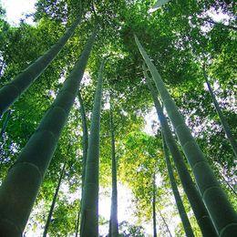 2019 graines de sakura 1000 graines de bambou Moso Phyllostachys Pubescens Graines de bambou géantes Livraison gratuite