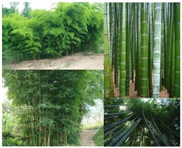 semi di erbe di eroi Sconti 500 Semi di bambù Moso Phyllostachys Pubescens Semi di bambù giganti Lotto di 500 SEMI Spedizione gratuita