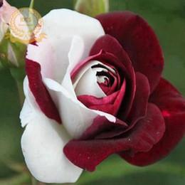 2019 cespugli da giardino Rare Heirloom White Red Rose Bush semi di fiori, confezione professionale, 50 semi / confezione, Strong Fragrant Garden Flower F052 cespugli da giardino economici