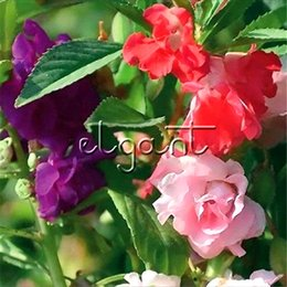 Wholesale Impatiens Flower - Double Camellia Impatiens Balsamina Touch-Me-Not Flower 100 Seeds Mix Color Easy to Grow from Seeds Great for DIY Home Garden or Landscape