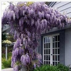 30 tohumlar / paketi için sıcak satış Mor Wisteria Çiçek Tohumları DIY ev bahçe nereden