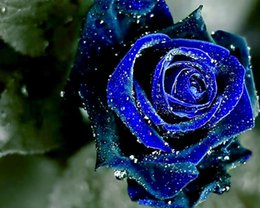 Wholesale Sell Wedding Bouquets - Midnight Rose Blue Color Flower Seeds Free Shipping Beautiful Hot Selling Wedding Flowers Seeds 100 Pieces Per Package