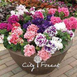 Double Petunia Flower 100 Seeds Colore misto Fiore ideale da giardino per aiuole, cestini e contenitori, bonsai da