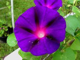 Semi di gloria online-Nonno Ott Ipomoea Purpurea Morning Glory semi di fiori decorazione del giardino fiore 20pcs D62