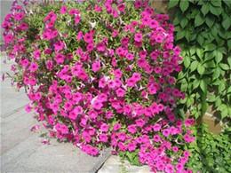 Semi di fiore di petunia online-200 Semi Viola Petunia Surfinia Viola F1 (Petunia x hybrida) Fiori S023