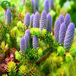 2019 decorazioni dell'albero di bonsai Semi di abete semi di albero bonsai decorazione del giardino di casa 30 particelle / sacchetto E023 decorazioni dell'albero di bonsai economici