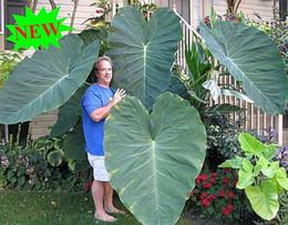 piantando pomodori di ciliegia Sconti 100pcs Giant Elephant Ear Plant, Colocasia Gigantea fresco, semi di fogliame enorme