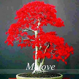 Wholesale Gardening Seeds Plants - 30 Japanese Red Maple Seeds for planting DIY Home Garden Bonsai