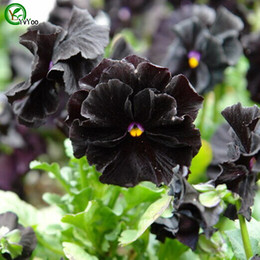 Pansies semi online-Semi di viola del pensiero Semi di fiori Pianta dei bonsai per giardino domestico 50 Particelle / lotto g015