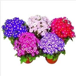 2019 sementes de flores podem Cineraria Flower 100 Seeds Mix Cor as mais belas flores de baixo crescimento que você pode cultivar a partir de sementes de flores sementes de flores podem barato