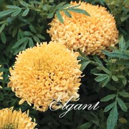 Wholesale Grow Big - Chrysanthemum Marigold Tagetes Flower Big Flower 100 Seeds Easy-growing Attractive Cut Flower Landscape Bonsai Pot Plant Variety