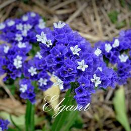 sementes de flores podem Desconto Statice Azul Roxo Cor Limonium sinuatum Flor 100 Sementes Anual Cutflower Fácil de usar Pode ser usado para a Flor Seca