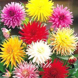 Wholesale Flower Dahlias - Dahlia Mixed ColorFlower 100 Seeds Big Lasting Blossom Easy-growing DIY Home Garden Perennial Flowering Plant High Germination