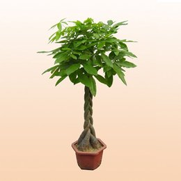 1 Semi / pack Pachira Macrocarpa Semi 100% Veri Semi di Albero Bonsai Frusta Pachira per Giardino Domestico di DIY Articoli per la casa da