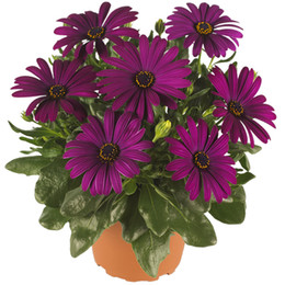 Wholesale Marigolds Flowers - South African Marigold Cape Marigold Flower 50 Seeds African Daisy-shaped flowers