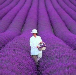 Цветок Лаванды 1000 шт. Семена Ароматная трава Легко вырастить из семян от