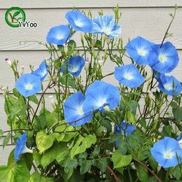 Wholesale Morning Glories Plants - Blue Morning Glory seeds Flower Seeds Bonsai Plant for Home Garden 15 Particles   lot