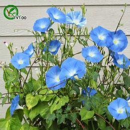 Semi di gloria online-Blue Morning Glory semi di fiori Semi di piante bonsai per la casa giardino 15 particelle / lotto