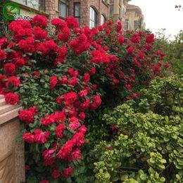 bonsai rosso Sconti Red Climbing Rose Seeds Promozione Balcone Bonsai Semi di fiori Piante da fiore 50 pz z012