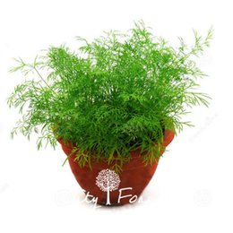 2019 semi di erbe di eroi Dill Herb 200 Semi / Sacchetto Facile da coltivare Contenitore Heirloom Balcone vegetale semi di erbe di eroi economici