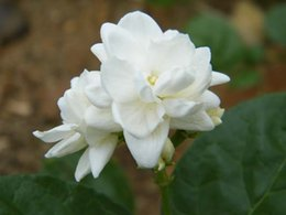 Commercio all'ingrosso - 50 SEMI ARABIA JASMINE JUSMINUM SAMBAC BIANCO SHRUB SEMI di FIORI Doppio petalo Spedizione gratuita da fiore di seme all'ingrosso fornitori