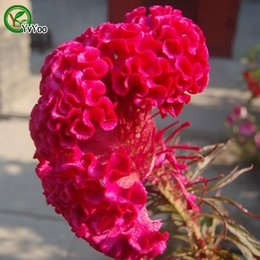 Semillas de celosia online-Celosia Seeds Bonsai Flower para Indoor Rooms Seed 40 Particles / lot Q039