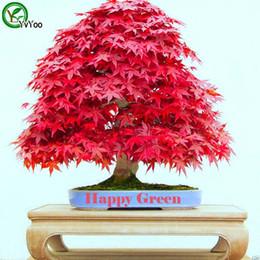 2019 semi di acero Semi di semi di bonsai cinesi semi di acero Questo è il 100% di semi veri 20 pezzi R012 sconti semi di acero