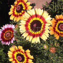 хризантема бонсай Скидка 400 семена красочные китайский окрашенные Ромашка Хризантема Кокцин DIY Главная сад бонсай пейзаж цветок Reseeds легко растет