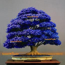 2019 plantar semillas de peonía 10 semillas / paquete, Bonsai semillas de árbol de arce azul Semillas de árbol Bonsai. raro japonés cielo azul arce semilla. Plantas de balcón para el jardín de su casa