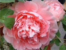"Wholesale Tree Peony Wholesale - ""Big Rare Blooming Bai jiao"" flowers Peony roses tree seeds, seed, professional, 5 package Peony garden 3 bags per lot"
