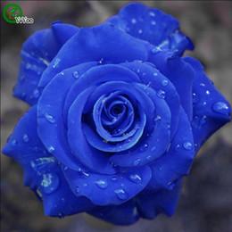 Bonsai blu online-semi di semi di fiori bonsai semi di rosa blu molto profumati 20 particelle / lotto