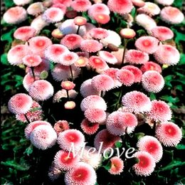 Wholesale Small Flower Bedding - Pink Daisy Perennia Garden Flower 500 PCS Pack Seeds Bellis Daisy Easy to Grow From Seeds Perfect for small beds, edging, borders and rock