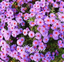 Aster Flower Mix Colour 200 Seeds Facile da iniziare da Seeds Annual Cut Flower da