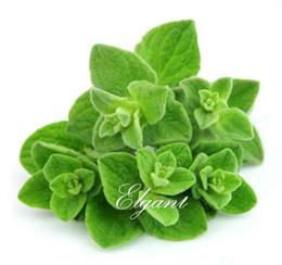 Piante da giardino fragranti online-Origano 500 semi di ortaggi perenne orticoltura per giardino domestico fai da te bonsai alta pianta fragrante