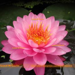 flores impresionantes Rebajas Semillas de flores, semillas de loto muy hermosas, 1 semillas / paquete, semillas de Nelsa Nucifera del patio de Bonsai, lirio de agua rosa