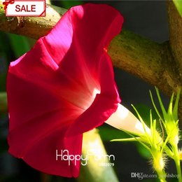 Wholesale Morning Glory Ipomoea - Loss Promotion!Crimson Ipomoea Nil Seeds Morning Glory Flowering Plants Charming Chinese Flowers Seeds 30 Pcs lot