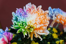 Wholesale Green Hyacinth - Colorful colorful hyacinth Chrysanthemum seeds 50   bag red orange yellow green blue blue variety of color 3 bags per bag