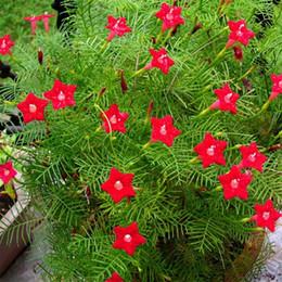 2019 flores impresionantes 20 Semillas Red Cypress Vine Flower Star Glory Flower Quamoclit pennata Fácil de cultivar DIY Home Garden Plantas con flores Impresionantes flores flores impresionantes baratos