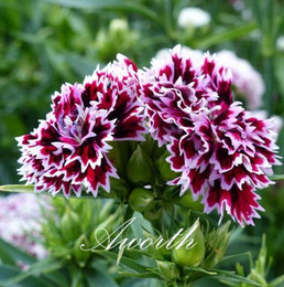 Wholesale growing perennials - Double Petal Dianthus Flower 500 Seeds Sweet William Mixed Color Easy-growing DIY Home Garden Perennial Flowering Plant High Germination